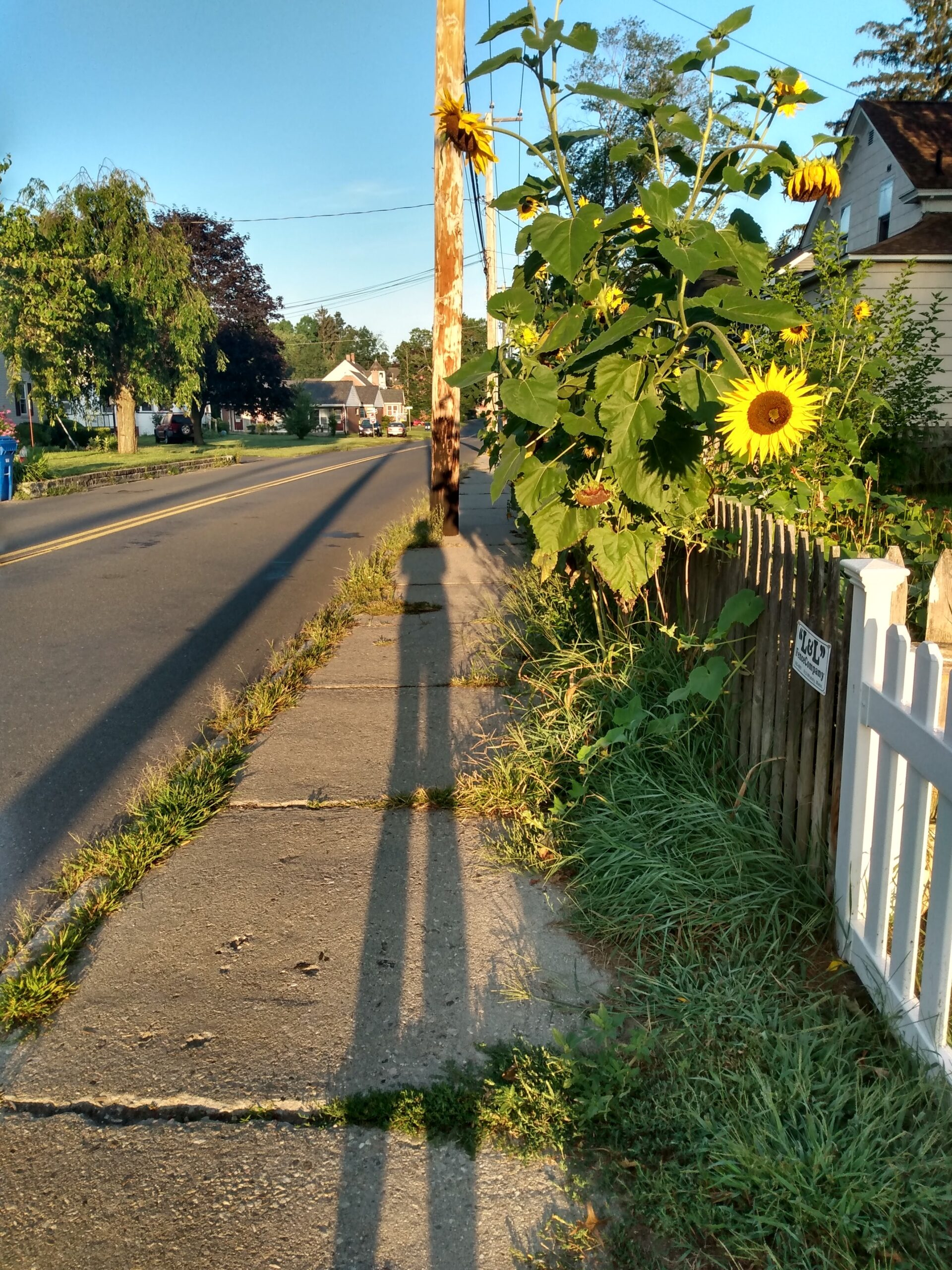 Sunflower and shadow