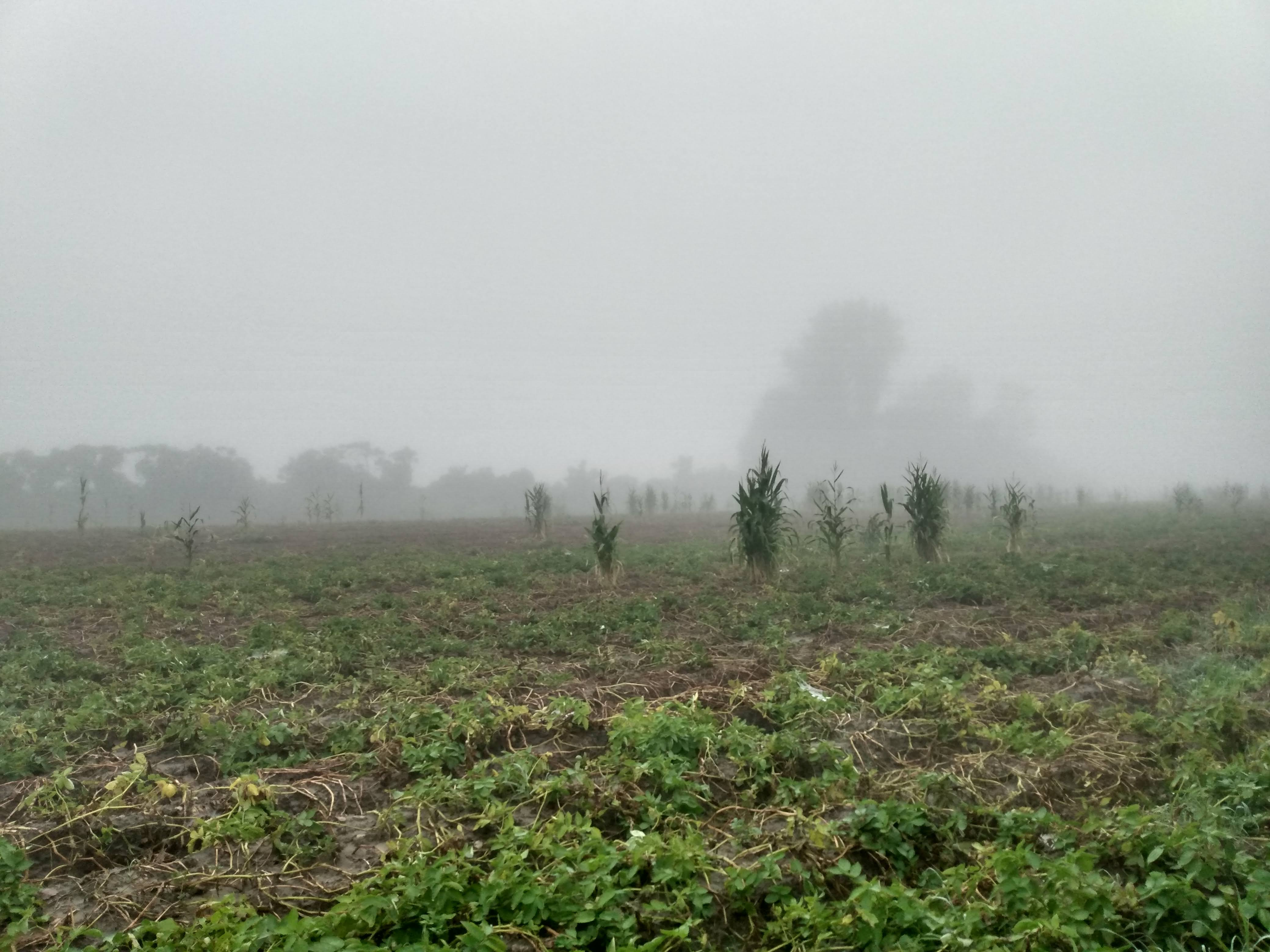 misty potato field with corn stalks