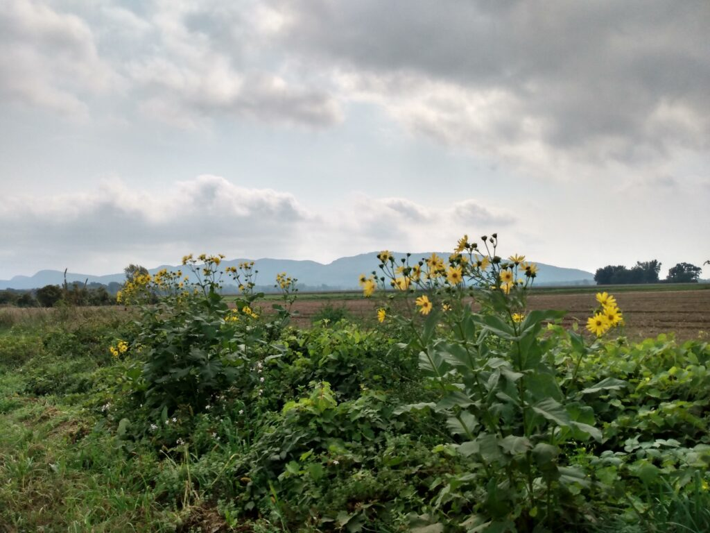 Wild sunflowers with mountains in the background